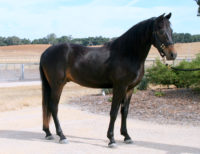 Merriewold Quito at 2 yrs