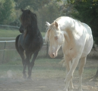 Stallions Poco and Calypso, by Danny Collins